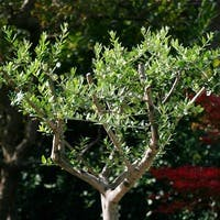 観葉植物のオリーブを上手に育てていますか?