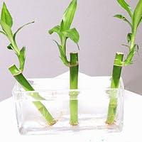【徹底解説】観葉植物ミリオンバンブーの育て方・飾り方