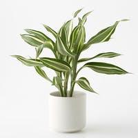 ドラセナ・サンデリアーナはとっても奥が深い観葉植物!