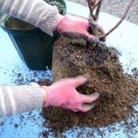 オーガスタは植え替えですくすく育てよう!