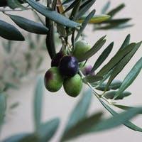 観葉植物としても魅力的!人気のオリーブの育て方とは