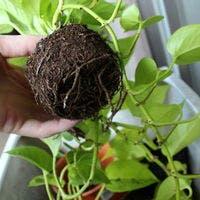 ポトスの植え替えをしよう!支柱の使い方から育て方まで/おすすめ7選もご紹介