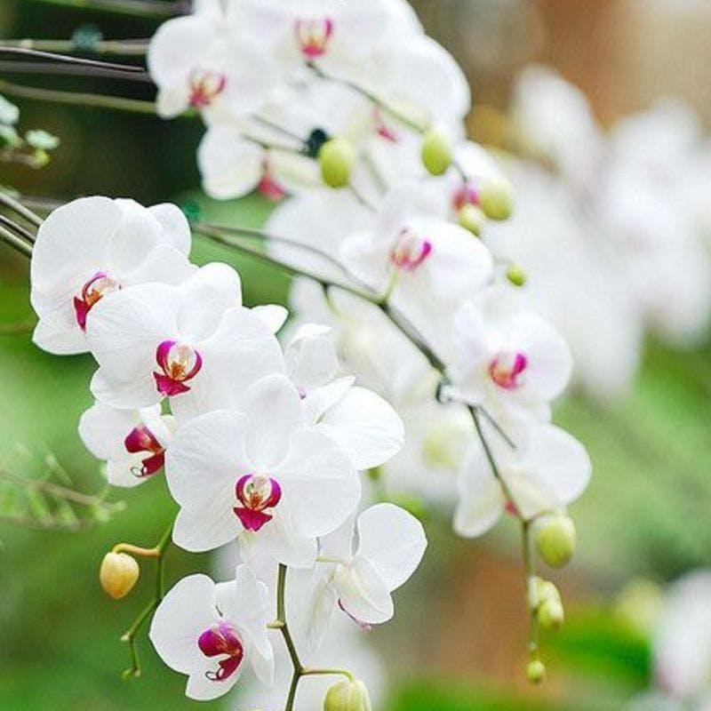 胡蝶 蘭 花 が 落ち たら