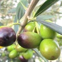 オリーブの木は通販で購入しよう!育て方と鉢植えおすすめ6選のご紹介