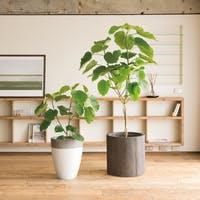 素敵な観葉植物フィカス ウンベラータを通販で買おう!