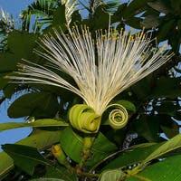 パキラの花を咲かせたい!花言葉と咲かせる方法のご紹介