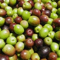 オリーブの実を収穫!育て方から簡単レシピ/おすすめ6選のご紹介