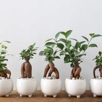 観葉植物ガジュマルのある生活を楽しむ!