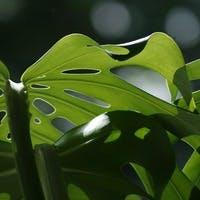 金運アップの観葉植物モンステラの魅力と育て方をご紹介