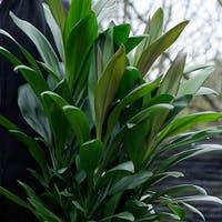 通販がおすすめ!ドラセナ グローカル(コルディリネ グローカル)は存在感のある丈夫な観葉植物