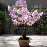 """桜 """"旭山""""はお部屋で観賞できる日本の花!ギフトにもおすすめ"""