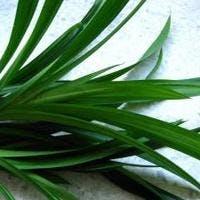 細葉が魅力!観葉植物ドラセナ アンガスティフォリアを通販で手に入れよう!