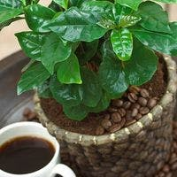 コーヒーの木をインテリアに!おしゃれなギフトにおすすめ3選