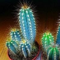 存在感抜群!柱サボテンの種類と育て方や飾り方10選