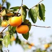 柿を育ててみませんか?次郎と富有の育て方・剪定のコツとおすすめ3選をご紹介!