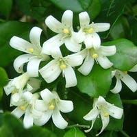 花も楽しめる観葉植物シルクジャスミンをギフトに活用しよう!