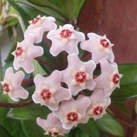 厳選3つ!ホヤ(サクララン)の思わず見とれる花の飾り方贈り方
