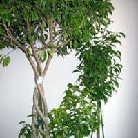観葉植物の定番フィカス ベンジャミンの育て方