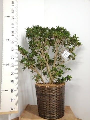観葉植物 ガジュマル 10号 ベビーリーフ 竹バスケット 付き