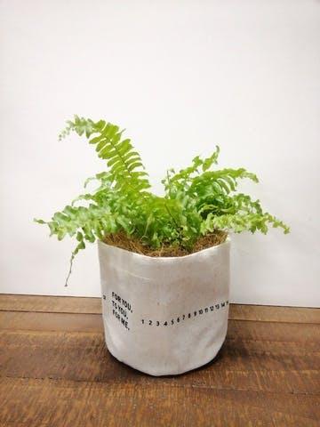 観葉植物 ネフロレピス 3.5号 ラップサック 付き