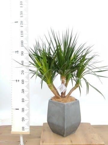 観葉植物 ドラセナ パラオ 8号 ファイバークレイ Gray 付き