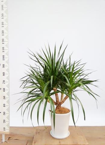 観葉植物 ドラセナ パラオ 8号 サブリナ 白 付き