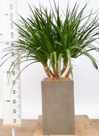 観葉植物 ドラセナ パラオ 8号 セドナロング グレイ 付き