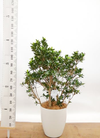 観葉植物 ガジュマル 10号 ベビーリーフ ラスターポット 付き