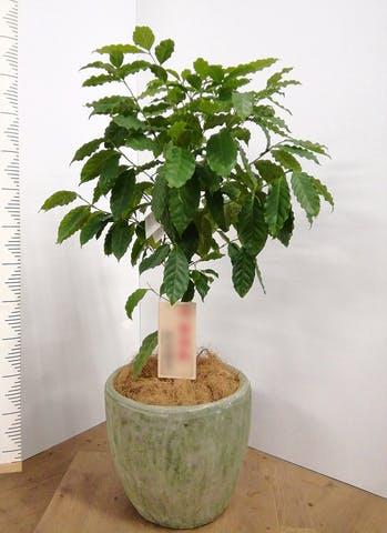 観葉植物 コーヒーの木 8号 アビスソニアミドル 緑 付き