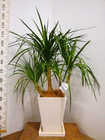 観葉植物 ドラセナ パラオ 8号 パウダーストーン 白 付き