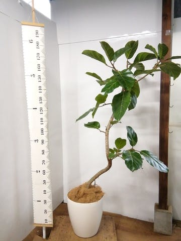 観葉植物 【165cm】  アフリカンプリンス10号 #23338 ※1都3県配送限定商品 ラスターポット付き