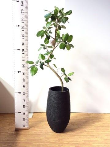 観葉植物 フィカス ベンガレンシス 8号 曲り フォンティーヌトール 黒 付き