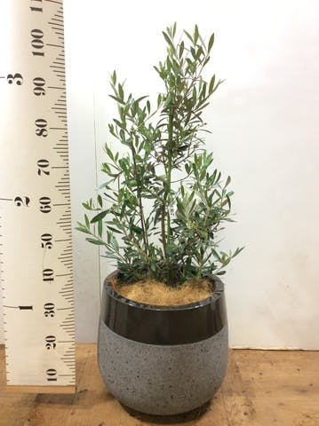 観葉植物 オリーブの木 8号 チプレッシーノ ファイバーストーンタウルス 黒 付き