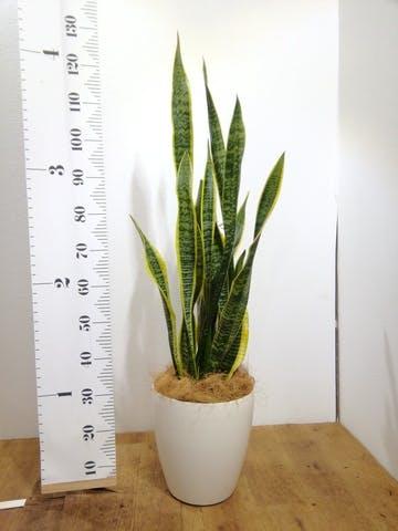 観葉植物 サンスベリア 8号 トラノオ ラスターポット 付き