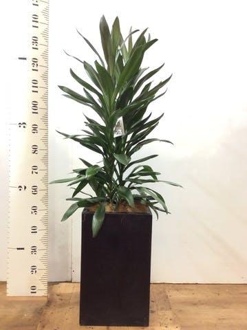 観葉植物 ドラセナ グローカル 8号 セドナロング 墨 付き