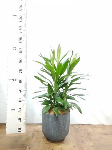 観葉植物 ドラセナ グローカル 8号 カルディナダークグレイ 付き