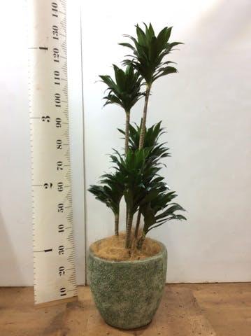 観葉植物 ドラセナ コンパクター 8号 アビスソニアミドル 緑 付き