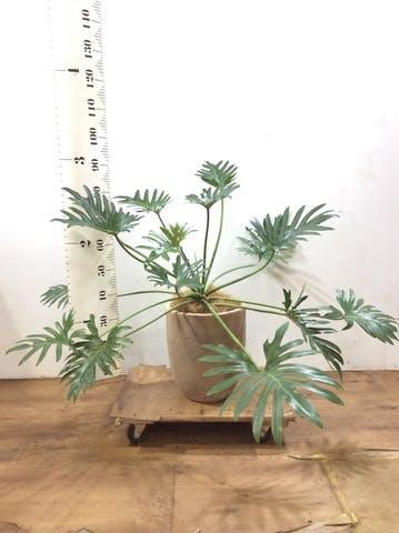 観葉植物 クッカバラ 7号 ルーガ アンティコ アルトエッグ 付き