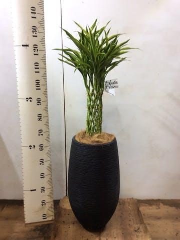 観葉植物 ドラセナ ミリオンバンブー(幸運の竹) 8号 フォンティーヌトール 黒 付き