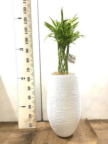 観葉植物 ドラセナ ミリオンバンブー(幸運の竹) 8号 フォンティーヌトール 白 付き