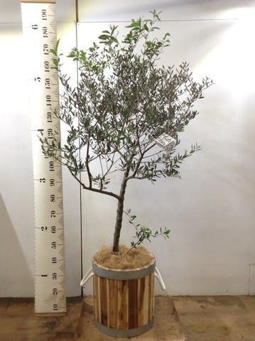観葉植物 オリーブの木 10号 創樹 ウッドプランター シリンダー  付き