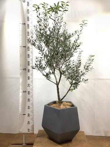 観葉植物 オリーブの木 10号 創樹 ファイバークレイGray 付き