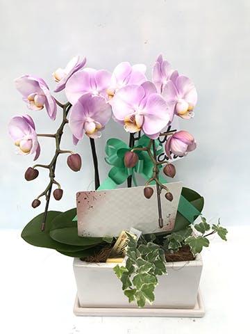 ミディ胡蝶蘭 ピンク 2本立ち パルテノ鉢付き