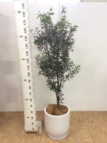 観葉植物 オリーブの木 10号 創樹 アファール 白 付き