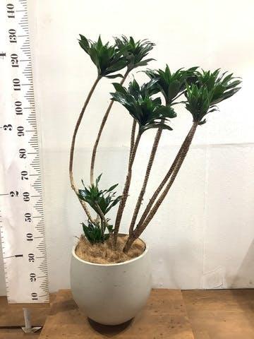 観葉植物 ドラセナ コンパクター 8号 アディラボウル グレイウォッシュ 付き