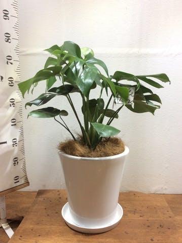 観葉植物 モンステラ 8号 ボサ造り サブリナ 白 付き