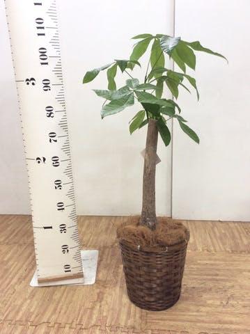観葉植物 パキラ 8号 朴 竹バスケット 付き