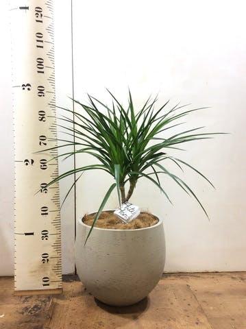 観葉植物 ドラセナ カンボジアーナ 8号 アディラボウル グレイウォッシュ 付き