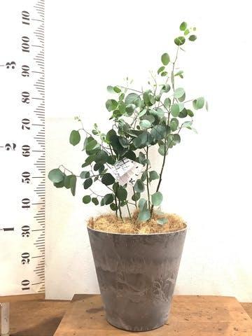 観葉植物 ユーカリ 8号 ポリアンセモス アートストーン ラウンド グレー 付き