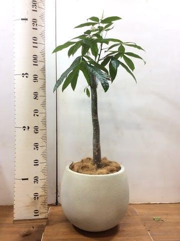 観葉植物 パキラ 8号 朴 テラニアス ローバルーン アンティークホワイト 付き